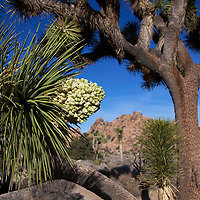 USA, California, Joshua Tree. Blooming Joshua Tree.
