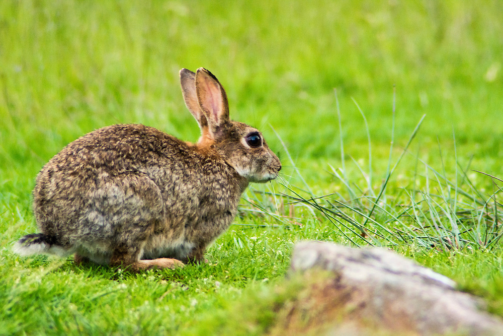 Rabbit ready to run.