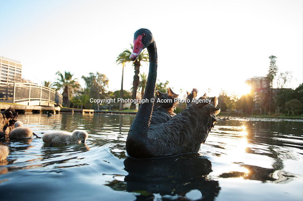 Black swans at Queens Park, Perth