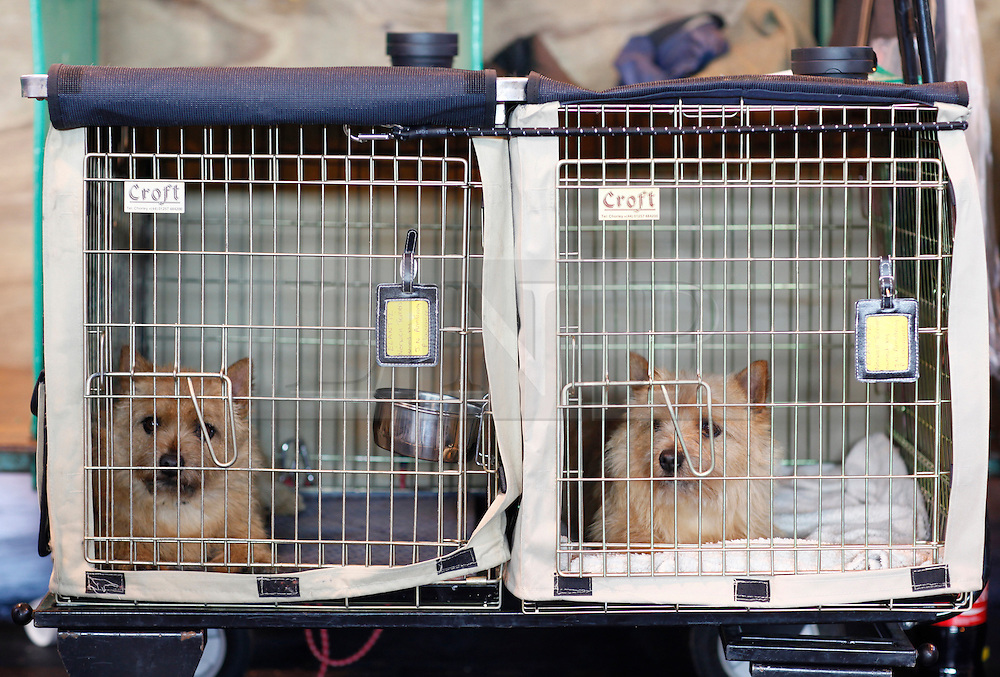 © Licensed to London News Pictures. 11/03/2012. Two Norfolk terriers sit in their cages at the 2012 Crufts final at the Birmingham NEC Arena.  With over 28,000 dogs taking part the tension is high as the competition draws towards the prestigious title of  Best in Show. Photo credit: Alison Baskerville/LNP