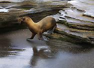 Seal, reflected, Galapagos Islands