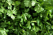 Close up selective focus photograph of bunches of Cilantro plant