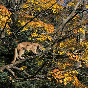 Mountain Lion or Cougar (Felis concolor).  An eastern couger in a hardwood forest in the midwest during the fall.  Captive Animal