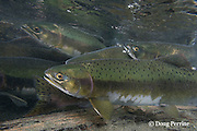 pink salmon, humpback salmon, or humpies, Oncorhynchus gorbuscha, swimming upriver to spawn, Campbell River, Vancouver Island, BC, Canada