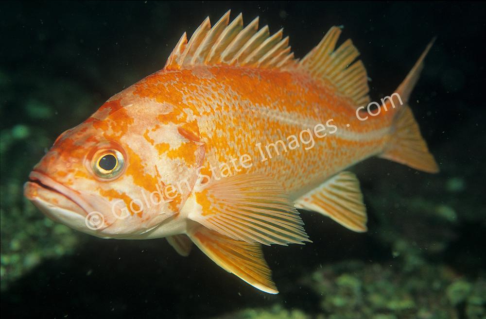 Species: Sebastes pinniger