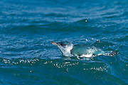 In between dives below the water surface to feed, a blue Penguin takes a break and floats at sea, New Zealand.