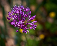Allium flower. Image taken with a Leica CL camera and 60 mm f/2.8 lens (ISO 100, 60 mm, f/4, 1/640 sec).