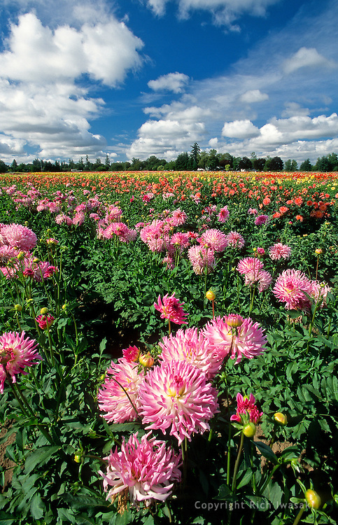 Dahlia flowers in a field at Swan Island Dahlias, Canby, Oregon