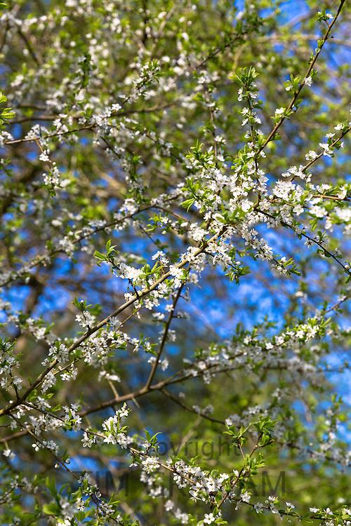Common Hawthorn blossom, Crataegus monogyna, on tree branch as Spring turns to Summer, United Kingdom