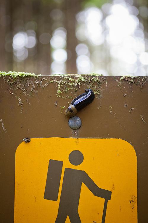 A Pacific banana slug (Ariolimax columbianus) inspects a trail sign on the West Coast Trail, British Columbia, Canada.