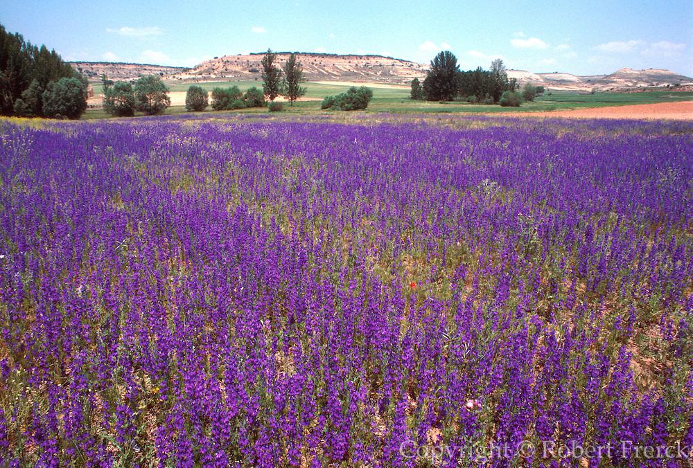 SPAIN, CASTILE-LEON wildflowers near Soria