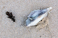 Spiny Cowfish skeleton on the beach, Arniston, Western Cape, South Africa,