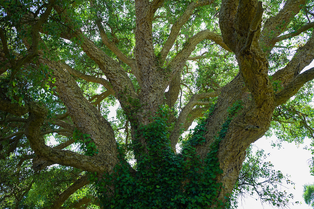 Trunk and branches of Cork Oak Tree, Quercus suber, an evergreen tree in England, UK