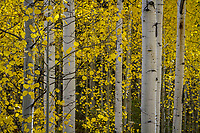 Fall colors of a golden aspen forest in Utah's Wasatch Mountains.