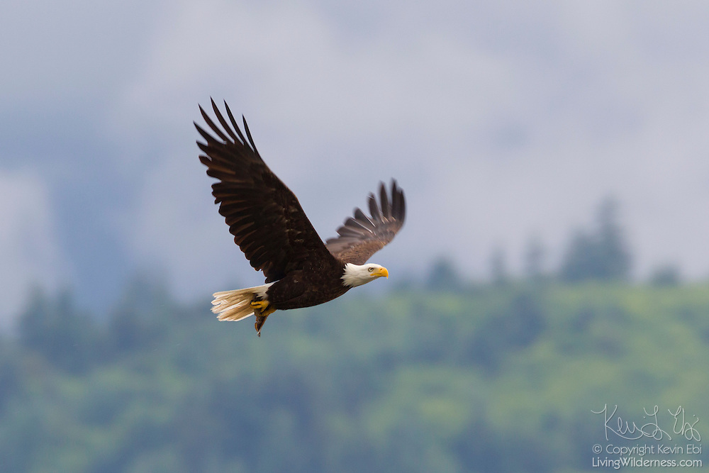A bald eagle (Haliaeetus leucocephalus) flies with a midshipman fish that it caught in the Hood Canal near Seabeck, Washington. Hundreds of bald eagles congregate in the area early each summer to feed on the migrating fish, which get trapped in oyster beds during low tides.