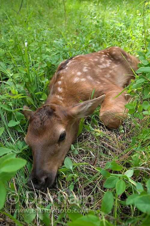 A wild, newborn rocky mountain elk (Cervus elaphus nelsoni) calf less than 24 hours old. Newborn calves like this one will lay still and do their best to hide when a threat is perceived. Sled Springs Elk Study Area, Northeast Oregon.