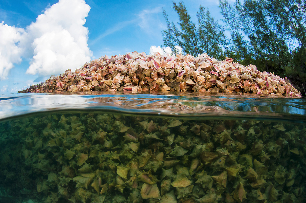 A massive pile of queen conch (Lobatus gigas) shells, called a midden, in the water of Eleuthera, Bahamas.