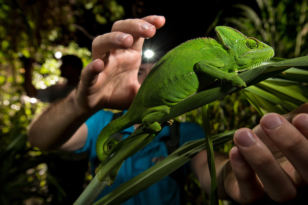 Miami, FL. Chameleons are not native to southern Florida. Not yet deemed an invasive species, as experts can not say for sure the effects the chameleon has on the environment, the Veiled Chameleon is a coveted pet. Here, hunters in Miami look for and find a Veiled Chamelon.