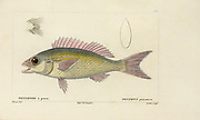 Pentapus (Pentapode) Histoire naturelle des poissons (Natural History of Fish) is a 22-volume treatment of ichthyology published in 1828-1849 by the French savant Georges Cuvier (1769-1832) and his student and successor Achille Valenciennes (1794-1865).