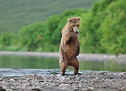 """Web site fee to be arranged<br /> <br /> EXCLUSIVE - Dancing Bear<br /> Photographer Nikolai Zinoviev  lived and photographed Russian brown bears for 40 days in Yuzhno-Kurilsky state reserve. Kamchatka. Kurile lake is located on the territory of above mentioned reserve and is considered """"bear paradise"""" as millions of silver salmon return to this lake each year and to the small creeks to spawn.  This obviously draws large quantities (hundreds) of brown bears from the territory of the reserve. Silver salmon in Russian is called """"nerka"""".  Silver salmon runs against the current of Ozernaya river from Sea of Okhotsk to Kuril lake to continue endless life cycle that existed for thousands of years in these beautiful lands.<br /> I was photographing a young bear on the lake shore. He behaved normally being busy catching fish and minding his own business. Suddenly, I saw another bear, that showed its face from the bush. The first bear demonstrated signs of anxiety and surprise. He sniffed the other bear out from a distance and his reserved behavior changed to something I could never expect. He stood up on his rear legs and did literally what in human terms we would call """"a dance"""".  Usually a bear standing up is a natural reaction to potential danger or an attempt to check out the situation around him. This was different. In 5 years of photographing brown bears I did not see anything like that. The bear was so excited and he surely was showing it!  After this performance the two bears showed immediate and obvious signs of welcome and acceptance. For the next hour or so they played in the lake, ran after each other playing """"catch me, if you can"""", rolled in the sand - as though they forgot they were adult bears.  They played like two kids would. I quickly realized that these were siblings - a sister and a brother that came out of the same litter 5 years ago. Usually after three years bear cubs are left by their mother to continue their own lives separately and quite often they """
