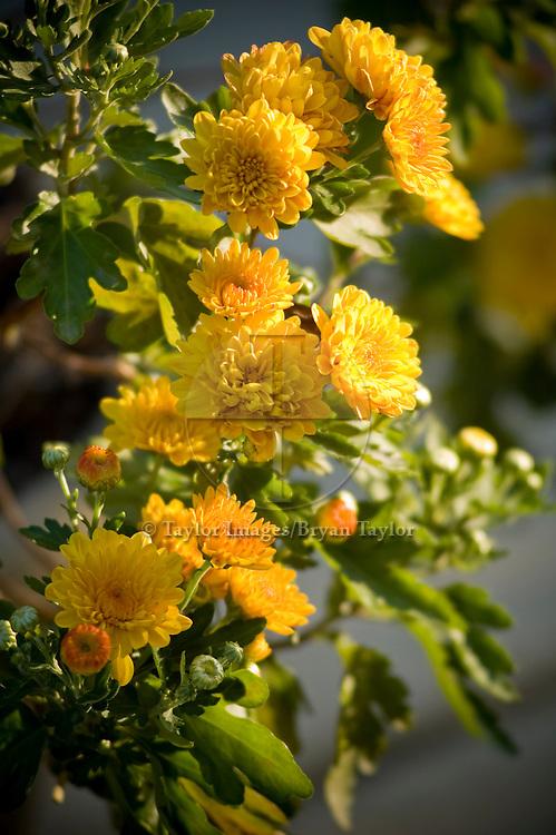 Closeup of yellow gerber daisies in full bloom.