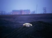 Polar bear resting in gravel mine, Prudhoe Bay Oil Field, North Slope of Alaska.
