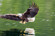 eagle landing on water to catch a fish