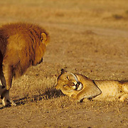 African Lion, (Panthera leo) Male and female courting. Masai Mara Game Reserve. Kenya, Africa.