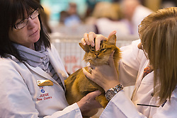 © Licensed to London News Pictures. 23/11/2013. London, England. Judges examine a Somali cat during the judging process. The 37th Supreme Cat Show takes place at the National Exhibition Centre in Birmingham, UK. Photo credit: Bettina Strenske/LNP