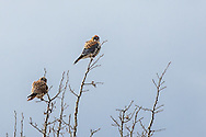 American Kestrel pair, Grand Teton National Park, Jackson Hole, Wyoming