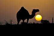 Israel, Negev Desert, silhouette of an Arabian camel (Camelus dromedarius) at subset