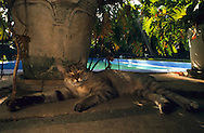 "USA, Vereinigte Staaten Von Amerika: Hauskatze (Felis catus domesticus), Felidae, ?Ingrid Bergmann? macht im Schatten von einem Blumentopf beim Swimming Pool ein Nickerchen, Hemingway Haus und Museum, Key West, Florida | USA, United States Of America: Domestic cat (Felis catus domesticus), Felidae, ""Ingrid Bergmann"" napping in the shade of a flowerpot next to the swimming pool, Hemingway Home and Museum, Key West, Florida 