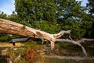 fallen and dead tree in the Wahner Heath near Telegraphen hill, Troisdorf, North Rhine-Westphalia, Germany.<br /> <br /> umgestuerzter und abgestorbener Baum in der Wahner Heide nahe Telegraphenberg, Nordrhein-Westfalen, Troisdorf, Deutschland.
