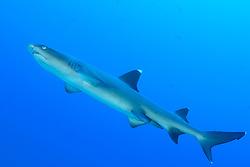 Triaenodon obesus, Weissspitzen Riffhai, Whitetip reef shark, Insel Cocos, Costa Rica, Pazifik, Pazifischer Ozean, Cocos Island, Costa Rica, Pacific Ocean