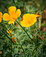 California Poppy flower. Image taken with a Leica SL2 camera and  and 24-90 mm lens.