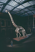 The largest mounted dinosaur in the world, Brachiosaurus, a 135-million-year-old vegetarian from Tendagura, now resides at the Natural History Museum of Humboldt University in Berlin.