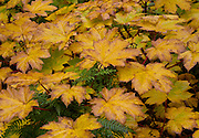 Alaska. Autumn color with ferns and Devil's Club leaves, Denali State Park.