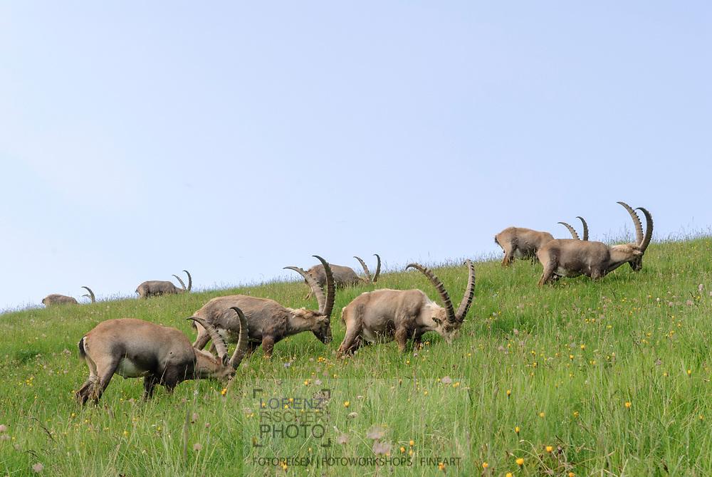 Männliche Steinböcke am Brienzer Rothorn bei Sörenberg an einem schönen Sommertag mit Quellwolken.<br /> <br /> Male alpine ibexes on Brienzer Rothorn at Sörenberg ona lovely summer day with clouds