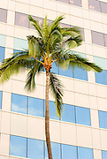 A vertical image of a palm tree in front of a building in Waikiki.