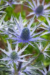 Eryngium × zabelii 'Big Blue'