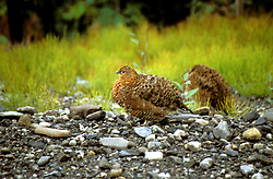 AK: Alaska Denali National Park, Ptarmigan birds  .Photo Copyright: Lee Foster, lee@fostertravel.com, www.fostertravel.com, (510) 549-2202.Image: akdena214