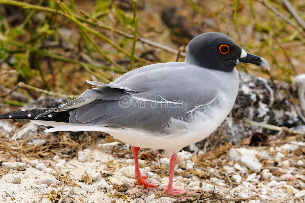 Swallow-tailed gull (Creagus furcatus) from Genovesa, Galapagos.