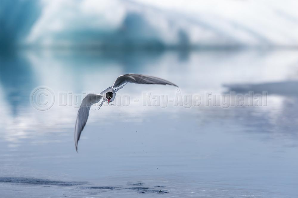 Arctic Tern wit a catch captured at Jökulsárlón, Iceland. You can see the icebergs (iceblocks) in the background | Rødnebbterne med en fangst, fotografert ved Jökulsárlón på Island. Du kan se i isfjellene (isklumpene) i bakgrunnen.