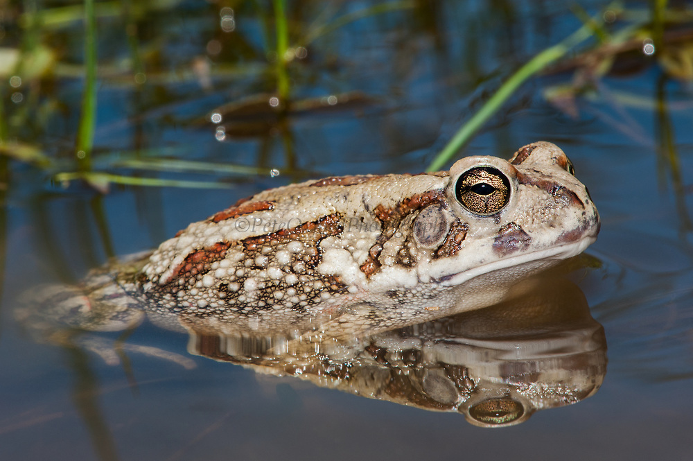 Eastern olive toad (Amietophrynus garmani)<br /> Marataba, A section of the Marakele National Park, Waterberg Biosphere Reserve<br /> Limpopo Province<br /> SOUTH AFRICA<br /> HABITAT & RANGE: Vleis & pans in bush veld savanna with above 600mm rainfall