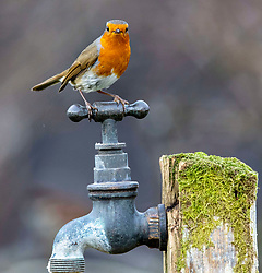 As the current cold snap bites Scotland please remember that garden birds need regular food and water to see them through this cold snap. Images of a robin from a garden in Oban.…….. (c) Stephen Lawson | Edinburgh Elite media