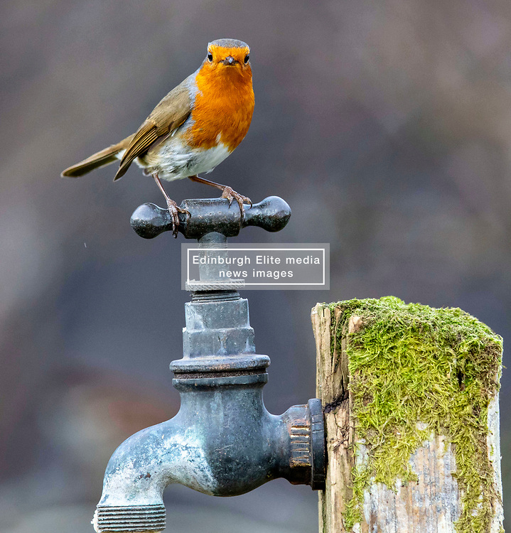 As the current cold snap bites Scotland please remember that garden birds need regular food and water to see them through this cold snap. Images of a robin from a garden in Oban.…….. (c) Stephen Lawson   Edinburgh Elite media