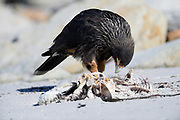 A Striated Caracara (Phalcoboenus australis) picks over a carcass on Saunders Island on Sunday 4th February 2018.