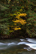 Fall Vine Maple (Acer circinatum) foliage along the Chilliwack River in Chilliwack, British Columbia, Canada