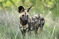 July 6, 2015 - African Hunting Dog, Madikwe National Park, South Africa / (Lycaon pictus) / African Wild Dog (Credit Image: © Tuns/DPA/ZUMA Wire)