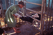 Amish girl feeds calf milk from bottle, Church Amish, Lancaster Co., PA